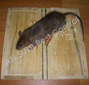 4 cách hay diệt chuột hiệu quả, 4 cach hay diet chuot hieu qua
