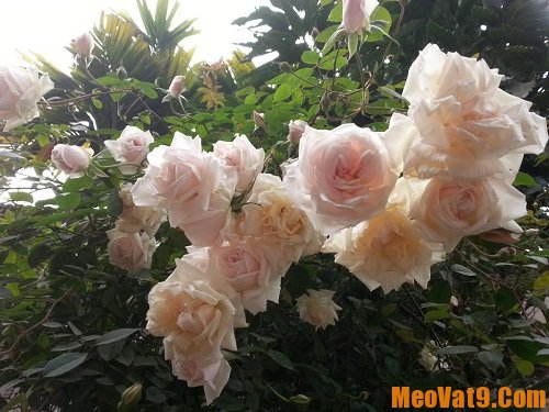 Mẹo trị ho cho bé sơ sinh bằng hoa hồng bạch