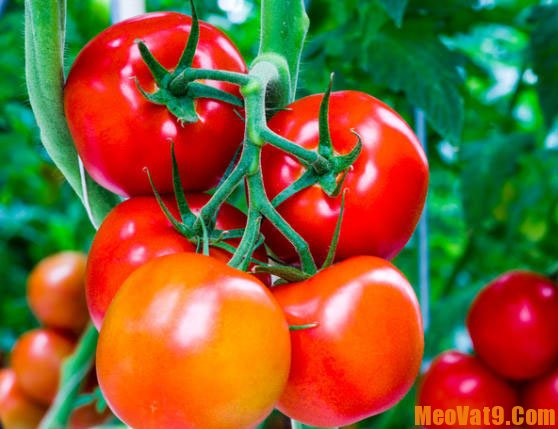 Mẹo chọn cà chua an toàn