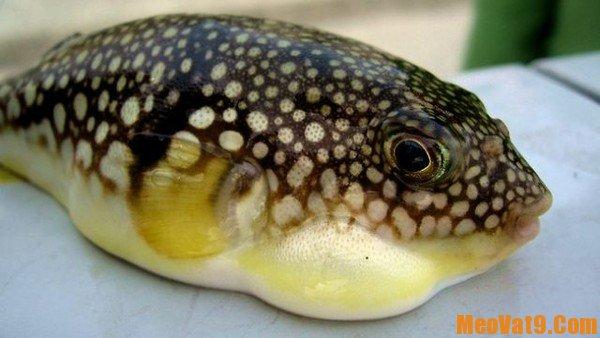 Mẹo nhận biết cá nóc độc hại