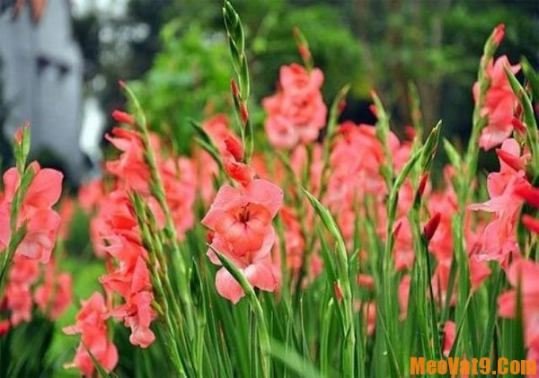 Mẹo giữ hoa lay ơn tươi lâu