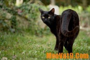 Mèo hoang vào nhà là điềm báo gì? Mèo vào nhà đánh con gì?